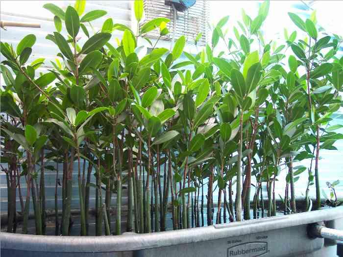 External Mangrove Planter Reef Central Online Community